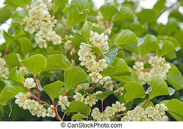 kiwi), flores, actinidia, (hardy, planta