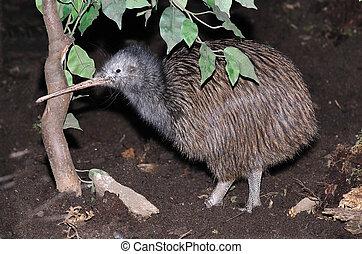 kiwi, gemeinsam