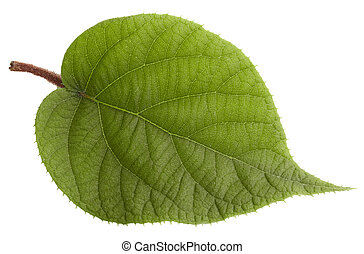 kiwi leaf isolated on white background