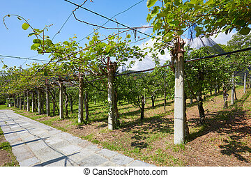 Kiwi orchard and stone tiled path in a sunny summer day, Italy