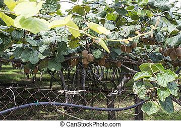 kiwi, plant