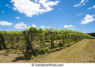 Kiwi plantation