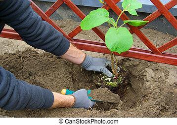 kiwi, planter, plante, 01