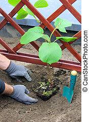 kiwi, planter, plante, 04