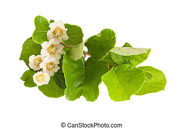 Kiwifruit branch isolated