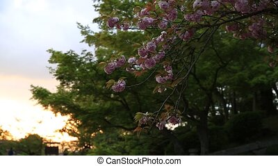 Kiyomizu-dera cherry blossoms