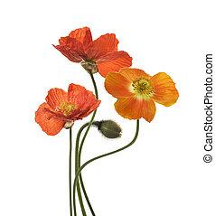 klaproos, bloemen