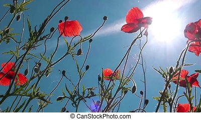 klaproos, bloemen, rood