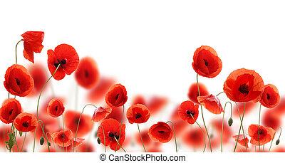 klaproos, witte bloemen, vrijstaand, achtergrond