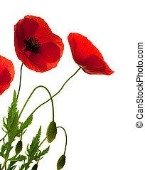 klaprozen, op, bloemen, grens, decoratief ontwerp, rode achtergrond, witte