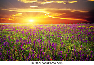 klaprozen, tegen, violet bloemen, zon, gras, akker, rood