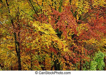 klar, efterår forlader, ind, den, naturlig, environment., fald, ahorn træ