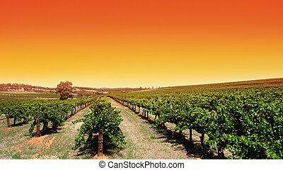 klar sky, vingård