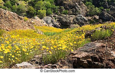 klein, bergig, tal, bedeckt, in, kalifornien mohnblumen