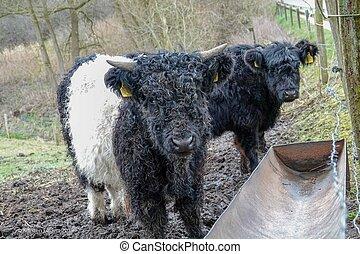 klein, galloway, kühe