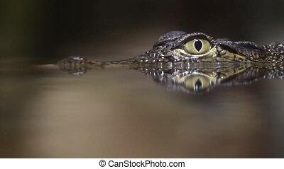 klein, krokodil
