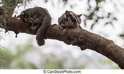 klein, opossum, oder, zucker, segelflug