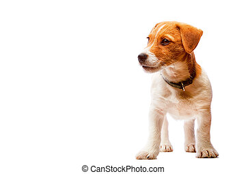 klein, reizend, wagenheber, russel, terrier, junger hund, freigestellt, weiß, hintergrund.