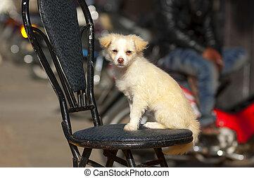 klein, weißes, Stuhl, hund, Sitzen