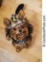 klein, yorkshire, terrier., haarschnitt, haustier