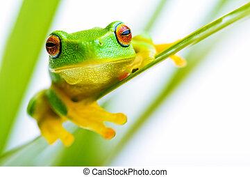 kleine, groen boom frog, holding, de, palmboom