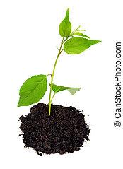 kleine, groen plant, met, terrein