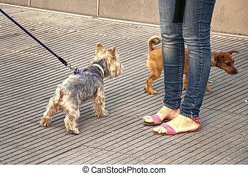 kleine hond, wandeling