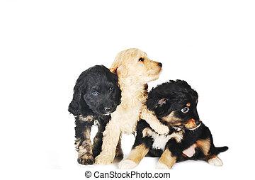kleine, hondjes