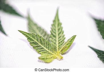 kleine, marihuana blad, met, trichomes, vrijstaand, op,...