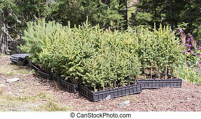 kleine, pijnboom bomen, wachten, om te, zijn, geplante, in,...
