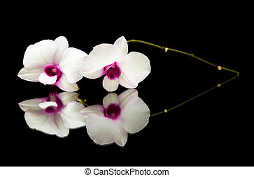 kleine, tak, van, mooi, witte , dendrobium, orchidee, met, donker purper, centra, op, black , reflecterend, oppervlakte