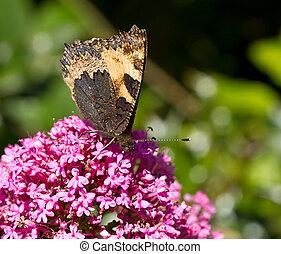 kleine, vlinder, tortoiseshell, underwing
