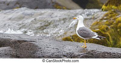 kleiner, black-backed, gull, (larus, fuscus)
