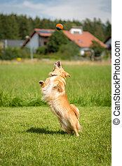 Absprung - Kleiner brauner Hund beim Absprung um einen Ball...