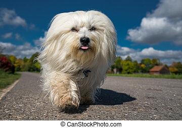 Kleiner Hund - Kleiner weißer Hund läuft direkt auf die...