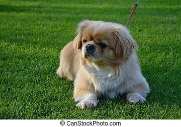 kleiner Hund liegt in der Wiese - kleiner Hund macht es sich...