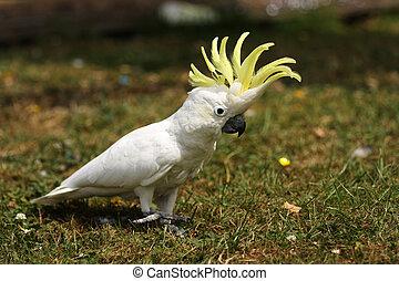 kleiner, kakadu, schwefel, gras, crested