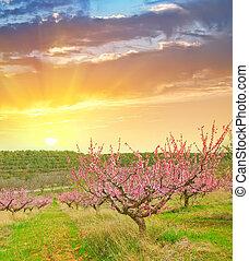 kleingarten, pfirsich