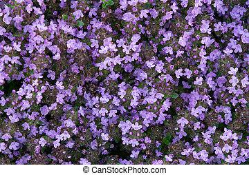 kleingarten, thymian, lila, groundcover, bett, auf, blühen, schließen, blumen, serpyllum