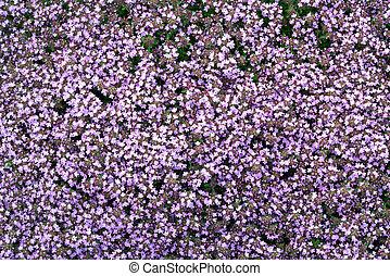 kleingarten, thymian, lila, groundcover, bett, blühen, blumen, serpyllum