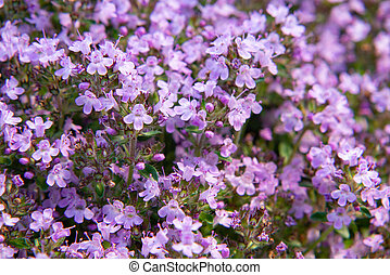 kleingarten, thymian, lila, serpyllum, fokus, auf, bett, groundcover, wahlweise, blühen, schließen, blumen, weich