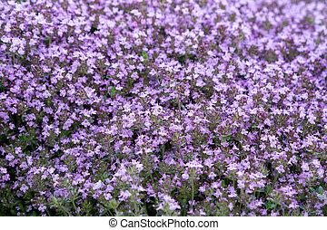kleingarten, thymian, lila, serpyllum, groundcover, bett, fokus, wahlweise, blühen, blumen, weich