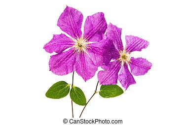 klematis, blomma, isolerat