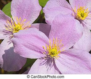 klematis, blomningen