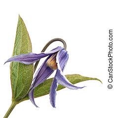 klematis, integrifolia, blomma, av
