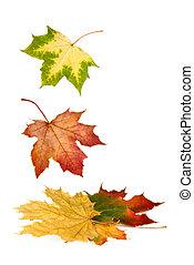kleurrijke, bladeren, dons, het vallen, esdoorn