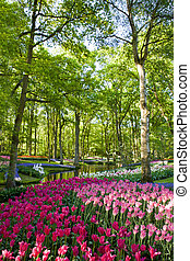 kleurrijke, bloeien, tulpen, in, keukenhof, park, in, holland