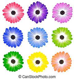 kleurrijke, madeliefje, bloemen, vrijstaand, op wit