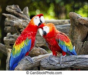 kleurrijke, papegaai, macaws