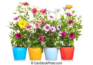 kleurrijke, pot, met, kleurrijke, afrikaans madeliefje, (dimorphoteca), bloem